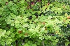 Struttura delle foglie scolpite verde della pianta del cespuglio di ashberry rosso con le bacche I cenni storici immagini stock