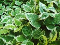 Struttura delle foglie verdi Fotografia Stock