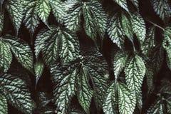 Struttura delle foglie verdi dell'uva Fotografie Stock Libere da Diritti