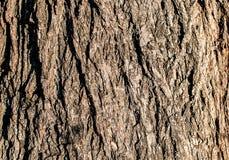 Struttura dettagliata della corteccia accesa del pioppo Fotografie Stock
