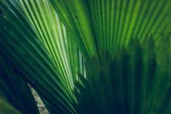 Struttura di foglia di palma Immagini Stock