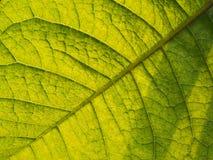 Struttura di Ivy Leaf porpora Immagine Stock