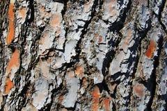 Struttura di legno dell'albero Fotografia Stock Libera da Diritti