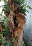 Struttura di legno dell'albero Jubbulpore India Fotografie Stock Libere da Diritti