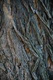 Struttura di legno della corteccia Immagini Stock
