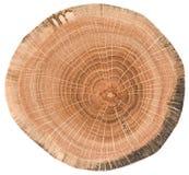 Struttura di legno di quercia Fetta dell'albero con gli anelli di crescita isolati su fondo bianco fotografia stock libera da diritti