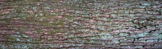 Struttura di sollievo della corteccia dell'ontano con muschio verde ed il lichene blu su  Immagine Stock