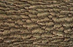 Struttura di sollievo della corteccia marrone della quercia Fotografie Stock Libere da Diritti