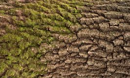 Struttura di sollievo della corteccia della quercia con muschio verde ed il lichene blu su  Immagini Stock