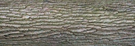 Struttura di sollievo della corteccia della quercia con muschio verde ed il lichene blu su  Immagine Stock Libera da Diritti