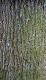 Struttura di sollievo della corteccia della quercia con muschio verde ed il lichene blu su  Fotografie Stock