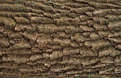Struttura di sollievo della corteccia della quercia con muschio verde ed il lichene blu su  Fotografia Stock