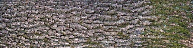 Struttura di sollievo della corteccia della quercia con muschio verde ed il lichene blu su  Fotografie Stock Libere da Diritti