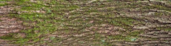 Struttura di sollievo della corteccia della quercia con muschio verde ed il lichene blu su  Immagini Stock Libere da Diritti