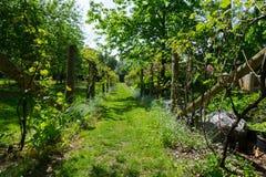 Struttura di sostegno di legno degli alberi di verde del giardino della vigna della piantagione immagine stock