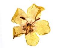 Struttura di un fiore di verbasco Immagini Stock