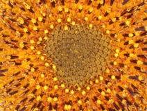 Struttura di un fiore giallo Fotografia Stock
