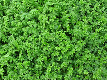 struttura di verde di erba Fotografia Stock