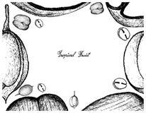 Struttura disegnata a mano di doppia noce di cocco e dei frutti di Mamoncillo illustrazione di stock