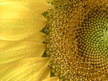 Struttura e fondo del girasole Struttura del polline del girasole Fotografia Stock