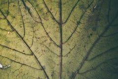 Struttura e fondo verdi della foglia Macro vista di struttura verde della foglia Reticolo organico Struttura & fondo astratti per Fotografie Stock Libere da Diritti