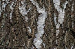 Struttura, fondo della corteccia di betulla Fotografia Stock