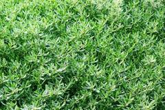 Struttura - fondo fresco delle foglie verdi Immagini Stock