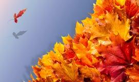 Struttura, fondo, modello Foglie di acero di autunno Fondo di Fotografie Stock