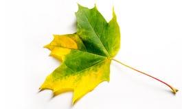 Struttura, fondo, modello Foglie di acero di autunno Fondo di Immagine Stock