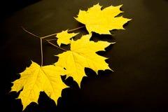 Struttura, fondo, modello Foglie di acero di autunno Fondo di Fotografia Stock