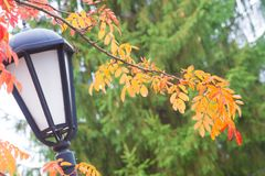 Struttura, fondo, modello Foglie di autunno della cenere di montagna, yel Immagine Stock