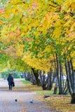 Struttura, fondo, modello Foglie di autunno della cenere di montagna, yel Fotografie Stock Libere da Diritti