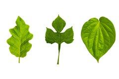 Struttura fresca e verde del giardino e tropicale dell'albero della foglia Immagini Stock