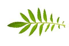 Struttura fresca e verde del giardino e tropicale dell'albero della foglia Fotografie Stock