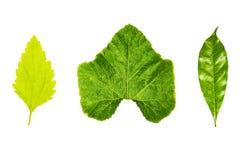 Struttura fresca e verde del giardino e tropicale dell'albero della foglia Fotografia Stock