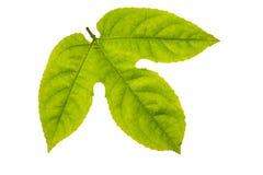 Struttura fresca e verde del giardino e tropicale dell'albero della foglia Immagine Stock