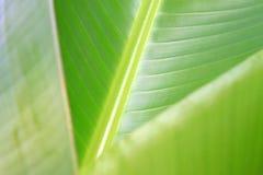 Struttura fresca verde della foglia della banana Fotografia Stock