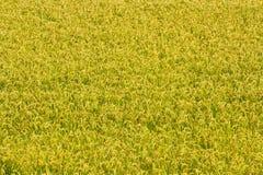 Struttura gialla del prato Immagine Stock Libera da Diritti