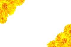 Struttura gialla della gerbera Immagine Stock