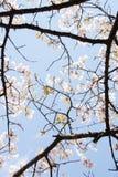 Struttura giapponese dei fiori di ciliegia Fotografie Stock