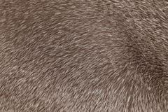 Struttura grigia dai capelli corti della pelliccia del gatto Fotografie Stock Libere da Diritti