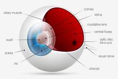 Struttura interna dell'occhio umano Fotografia Stock Libera da Diritti