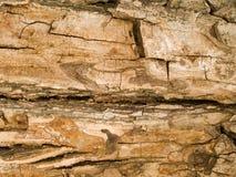 Struttura a macroistruzione - legno - corteccia di albero Fotografia Stock Libera da Diritti