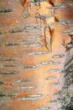 Struttura, modello Corteccia dell'albero l'intensità del suo relati di tono immagine stock libera da diritti