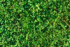 Struttura naturale del fondo della superficie dell'erba verde del primo piano Fotografia Stock