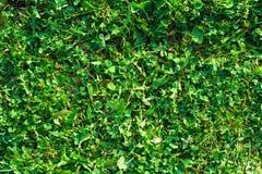 Struttura naturale del fondo della superficie dell'erba verde del primo piano Fotografie Stock
