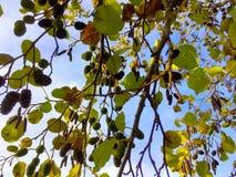 Struttura naturale di un ontano all'autunno Immagine Stock