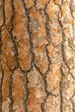 Struttura o fondo verticale rossa della corteccia di pino fotografia stock