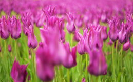 Struttura orizzontalmente senza giunte dei tulipani di fioritura Fotografie Stock