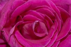 Struttura rosa di Rosa Fotografia Stock Libera da Diritti